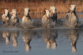 Camargue Horses 4