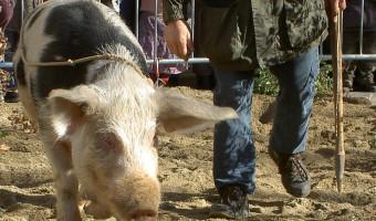 Black and white Truffle Pig